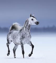 Arabian horse in motion on snow field