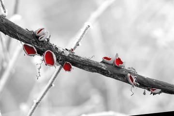 carlet Elf Cup Fungi - Sarcoscypha coccinea