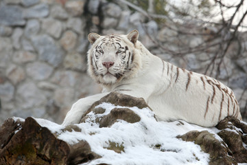 White Bengal Tiger Calm Lying on Tree Fresh Snow