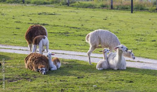 Papiers peints Lama herd of alpacas