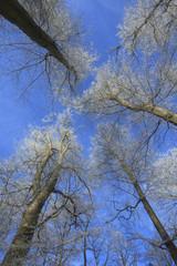 arbre givrés en hiver sur ciel bleu