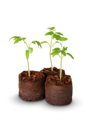 A tomato seedling in the peat pot, isolated