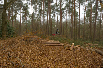 Timber in a pine and beech forest in winter