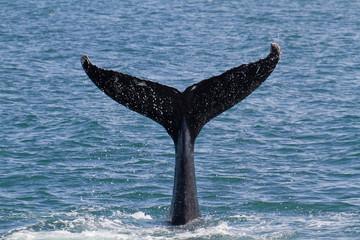 ザトウクジラ アイスランド
