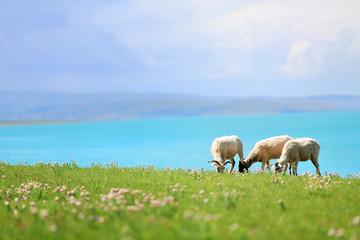 Sheep graze in meadow near lake