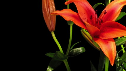 Red Asiatic Lily Time-lapse