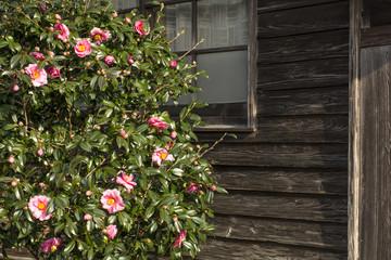 木造家屋をバックにサザンカの花