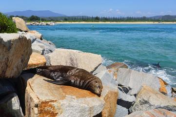 Sleepy seal on rocks at Narooma