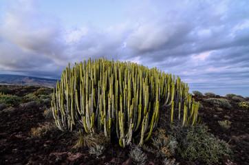 Calm Cactus Desert Sunset
