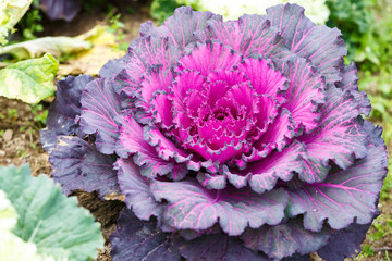 Purple lettuce plant