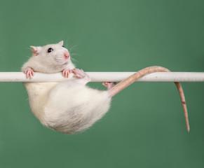 rat athlete