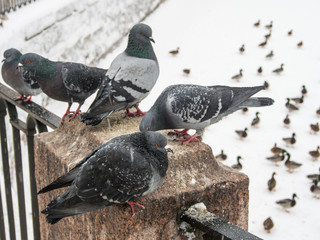 pigeons and ducks