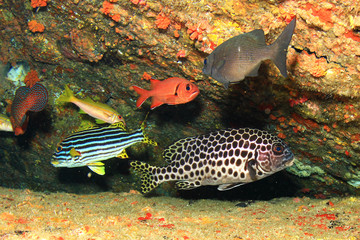 Harlequin and Oriental Sweetlips fish