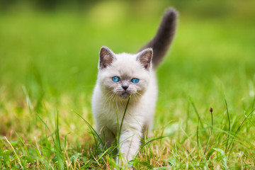 Cute little siamese kitten walking on the grass