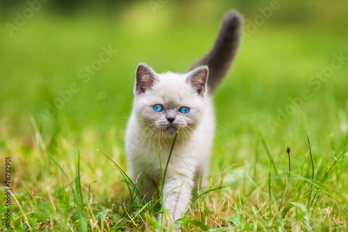 canvas print picture Cute little siamese kitten walking on the grass