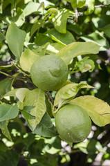 eko lemon