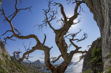 Dried relict pine on the seashore. Crimea.