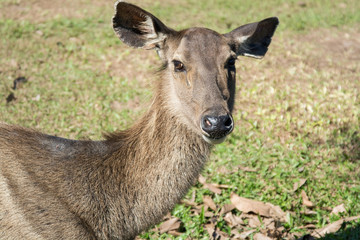 Deer in Khao Yai National Park, Thailand