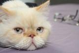 Fototapety cat tired