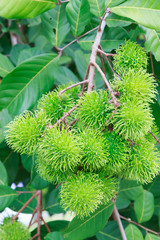 Green rambutan on tree