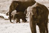 Deutschland, Köln, asiatische Elefanten im Zoo