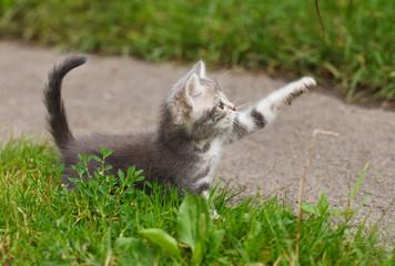 playful gray kitten
