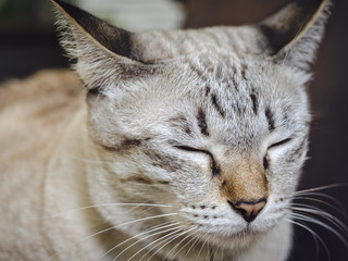 Asian cat sleeping close up