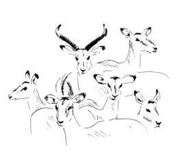 hand sketch antelope