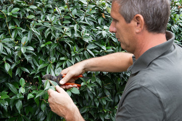 Mature Man Pruning Bushes