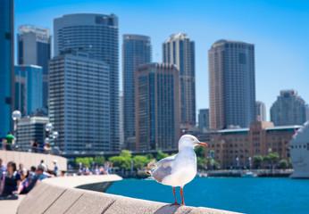 Seagull in front of Sydney harbor city. Australia.
