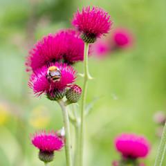 Purple flower, red thistle