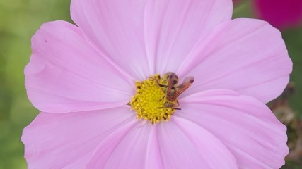 Footage of pink cosmos flower with bee moving