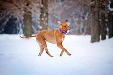 Lovely Rhodesian Ridgeback dog running in winter