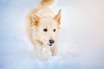 Lovely dog running in winter