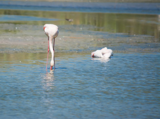pink flamingo drinking in a pond