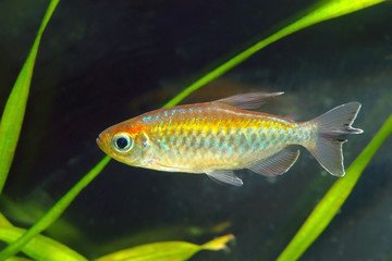 Congo tetra fish in aquarium.