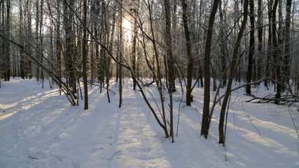 Winter forest, lit by the sun