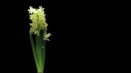 White hyacinth flower Time-lapse
