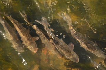 su içinde yüzen balıklar