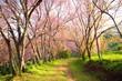 Sakura Flowers in Spring Season
