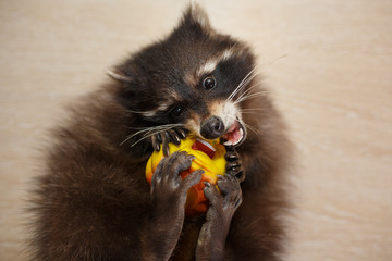 Raccoon with toy