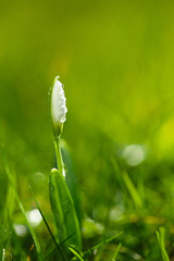 sparkly snowdrop flower, very soft tiny focus, perfect for gift