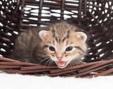 mewing kitten in a wicker basket poster