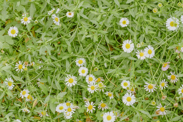 Daisy flowers on grass