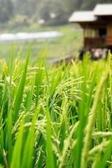 Close-up shot of rice field background with a small cottage