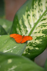 Mariposa naranja, alas desplegadas.