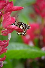 Mariposa entre flores rosas