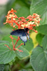 Mariposa moviendo las alas, azul, blanca y negra