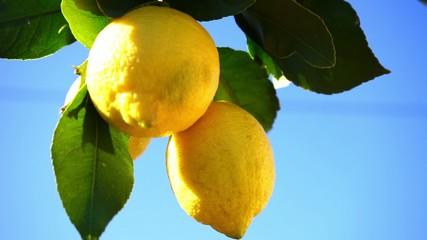 fresh lemons in sunlight and blue sky