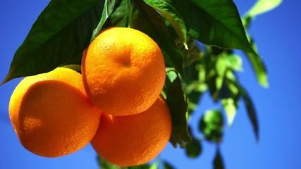 orangetree with fresh fruits